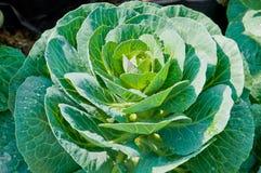 Piante della verdura fresca in giardino Fotografia Stock