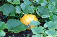 Piante della zucca con il raccolto ricco sul campo immagini stock libere da diritti