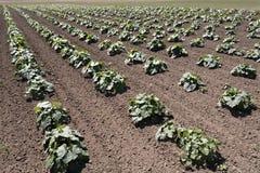 Piante della zucca in un campo dell'azienda agricola Fotografie Stock Libere da Diritti