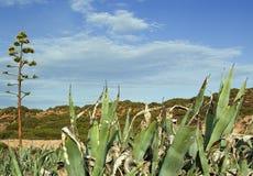 Piante delle agavi con il fiore Fotografia Stock Libera da Diritti