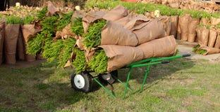 Piante delle felci su un carretto verde della mano al mercato degli agricoltori Fotografia Stock