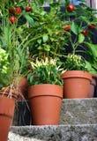 Piante delle verdure del giardino del contenitore in vaso Fotografia Stock Libera da Diritti