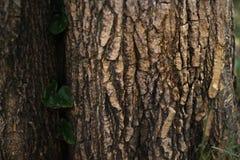 Piante dello scalatore su una grande superficie dell'albero fotografie stock libere da diritti