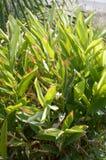 Piante di alpinia galanga nel giardino della natura Fotografie Stock