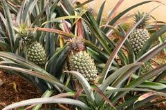 Piante di ananas con gli ananas verdi Fotografie Stock Libere da Diritti