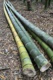 Piante di bambù Fotografia Stock Libera da Diritti