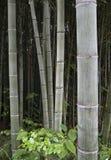 Piante di bambù Immagini Stock Libere da Diritti