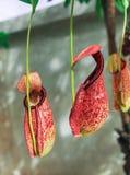 Piante di brocca tropicale Fotografia Stock