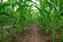 Piante di cereale che crescono nel campo agricolo coltivato Fotografia Stock