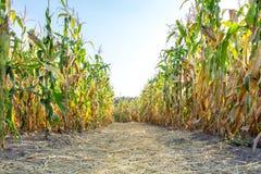 Piante di cereale sulla campagna del campo dell'azienda agricola Fotografia Stock