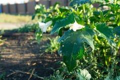 Piante di datura Mostrando le foglie verdi e fiore di fioritura bianco che sono sia piante ornamentali tossiche fotografia stock libera da diritti