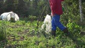 Piante di fagioli dell'acqua dell'uomo del tipo del paesano in giardino con l'annaffiatoio 4K archivi video