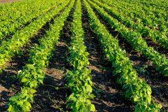 Piante di fagiolo nel campo Immagini Stock Libere da Diritti