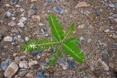 Piante di fagiolo sul sand1 Fotografia Stock Libera da Diritti