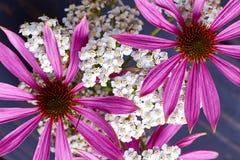 Piante di fioritura del millefoglie e dell'echinacea Fotografia Stock Libera da Diritti