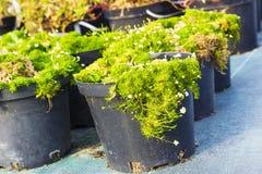 Piante di fioritura del Sagina in vasi da vendere Muschio irlandese in vaso da fiori Fotografia Stock