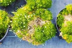 Piante di fioritura del Sagina in vasi da vendere Muschio irlandese in vaso da fiori Fotografia Stock Libera da Diritti