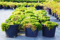 Piante di fioritura del Sagina in vasi da vendere Muschio irlandese in vaso da fiori Fotografie Stock Libere da Diritti