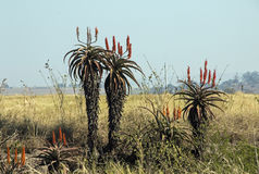 Piante di fioritura dell'aloe nel paesaggio africano di inverno asciutto Fotografia Stock