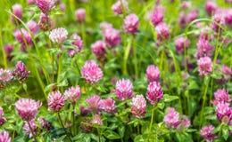 Piante di fioritura porpora del trifoglio dalla fine Fotografie Stock Libere da Diritti