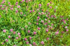 Piante di fioritura porpora del trifoglio dalla fine Immagine Stock