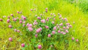 Piante di fioritura porpora del trifoglio dalla fine Fotografia Stock Libera da Diritti