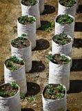 Piante di fragola Fotografia Stock