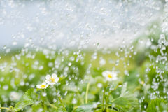 Piante di fragola al di sotto delle gocce di acqua nel campo Fotografia Stock Libera da Diritti