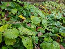 Piante di fragola bagnate in tempo grigio Fotografie Stock
