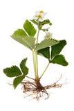 Piante di fragola con i fiori Immagine Stock