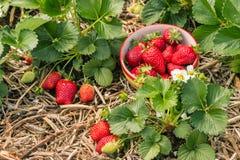 Piante di fragola con le fragole, i fiori e la ciotola maturi di fragole Fotografie Stock Libere da Diritti