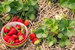 Piante di fragola con le fragole mature che crescono nel giardino organico Fotografia Stock