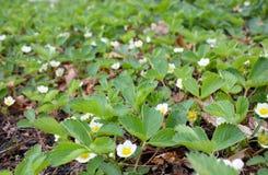 Piante di fragola in fioritura Fotografia Stock