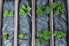 Piante di fragola in vasi Fotografia Stock Libera da Diritti