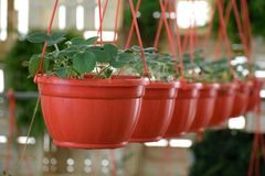 Piante di fragola in vasi da fiori Fotografie Stock