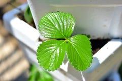 Piante di fragola verdi Immagine Stock Libera da Diritti