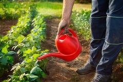 Piante di innaffiatura dell'agricoltore in giardino Fotografia Stock