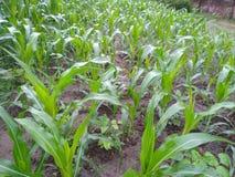 Piante di mais molto piacevoli nelle zone rurali fotografia stock
