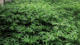 Piante di marijuana dell'interno strettamente imballate video d archivio