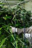 Piante di marijuana della guarnizione del lavoratore immagine stock
