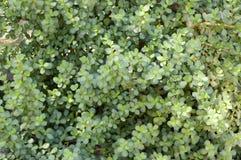 Piante di monnieri di Bacopa Fotografia Stock