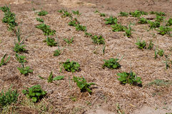 Piante di patate che crescono in un campo Fotografia Stock Libera da Diritti