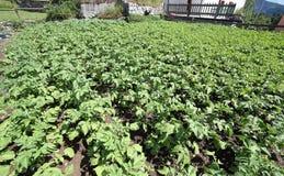 piante di patate che maturano nel giardino a giugno nelle montagne Fotografia Stock Libera da Diritti