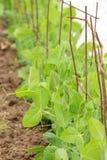 Piante di pisello che crescono in un giardino Fotografie Stock Libere da Diritti