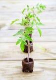 Piante di pomodori Fotografia Stock Libera da Diritti