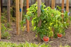 Piante di pomodori Immagine Stock