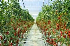Piante di pomodori all'indicatore luminoso naturale Fotografia Stock