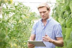 Piante di pomodori di In Greenhouse Checking dell'agricoltore facendo uso della compressa di Digital Fotografia Stock