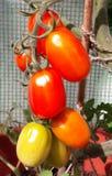 Piante di pomodori di maturazione rosse e gialle Immagini Stock Libere da Diritti