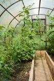 Piante di pomodori e piante del cetriolo in serre di verdure Fotografia Stock Libera da Diritti